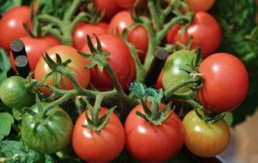 ako-pestovat-paradajky