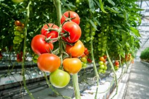 pestovanie-paradajok-v-skleniku