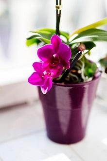 Starostlivosť o orchideu: pestovanie, rozmnožovanie, presádzanie