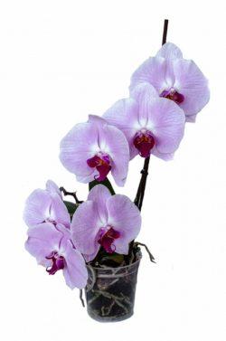 starostlivost-o-orchideu-pestovanie-rozmnozovanie-presadzanie3