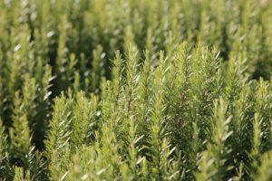 pestovanie rozmarínu