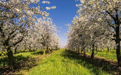 ako-sadit-ovocne-stromy