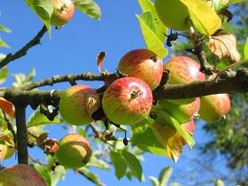 výsadba ovocnných stromov
