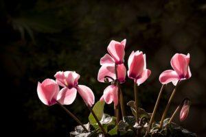 pestovanie cyklaménu